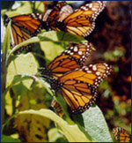The Monarch Butterfly Sanctuary in Michoacan