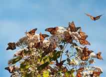 La Mariposa Monarca en Michoacán