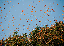 Monarch Butterfly Sanctuary in Michoacan