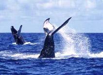 Avistamiento de Ballenas en Riviera Nayarit