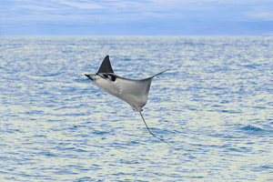 Flying Manta Rays in the Sea of Cortez