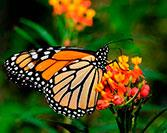 The Amazing Journey of the Monarch Butterflies